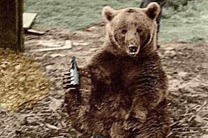 Wojtek, the bear, enjoying a beer.