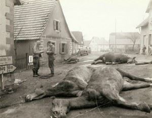 Troops string wire past 4 dead German artillery horses which were killed along with 5 German soldiers when an American artillery burst caught them as the horses were being hitched on Dec 14th. Another German soldier was wounded.