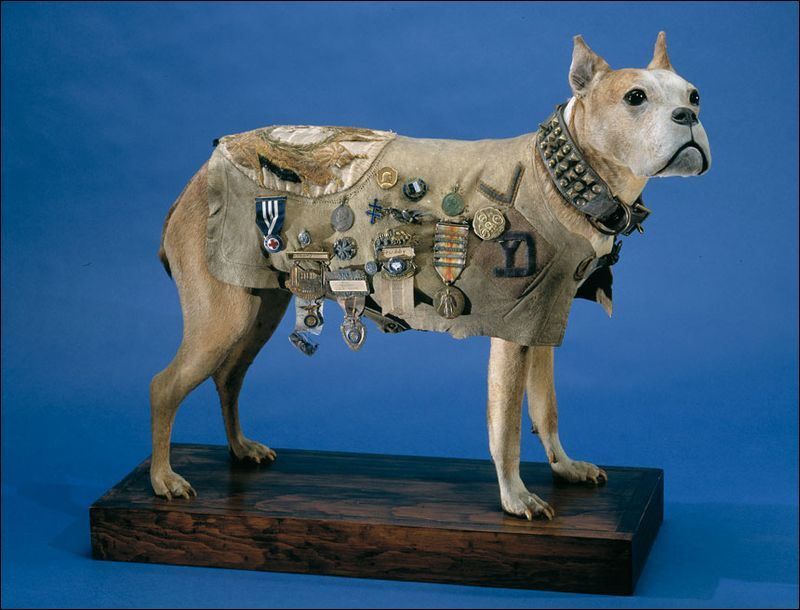 Stubby wearing his coat and collar at the Smithsonian Institution. (Credits: Smithsonian Institution)