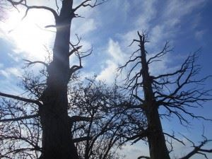 Two of the three Chestnut trees that bear witness to the carnage that occurred in 1815.